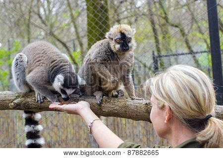 Ring-tailed And Red Lemurs