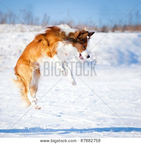 Sable Border Collie Jump