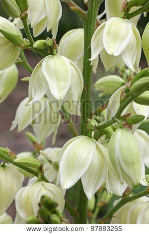 Yucca Filamentosa Flowers