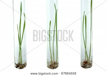 Sprouted grains in glass test tubes isolated on white