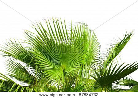 Leaves of palm tree isolated