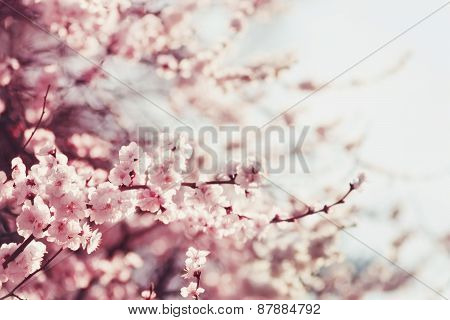 Spring Cherry blossoms pink flowers.
