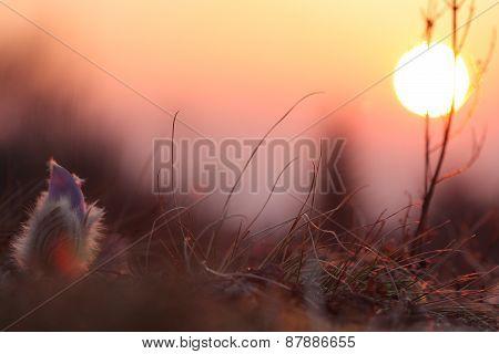 Spring Flower Pasqueflower- Pulsatilla Grandis,sunrise Time