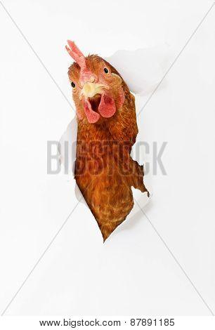 Hen In Aperture
