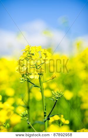 Yellow flower rapeseed field