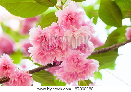 pink flower on tree. sakura. cherry blossom in spring