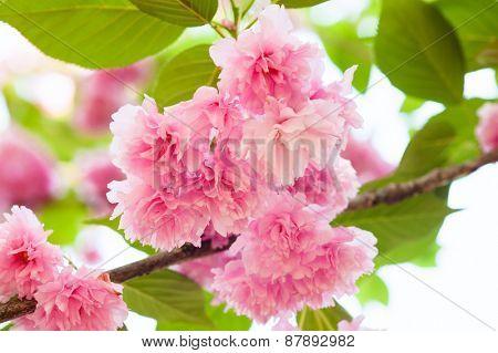 pink flower on tree. sakura. cherry blossom in spring