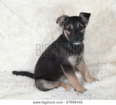 Small Black And Yellow Puppy Sitting On White Sofa