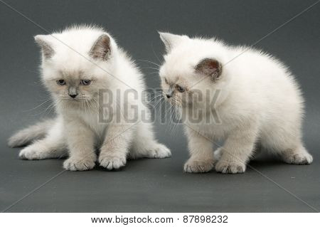 couple cute british kitten