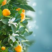 image of tangerine-tree  - Tangerine tree branches with fruits and flowers on blue sky - JPG