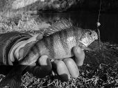 image of caught  - Freshly caught perch in the hands of the fisherman - JPG