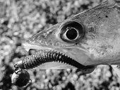 stock photo of caught  - Freshly caught zander in the hands of the fisherman - JPG