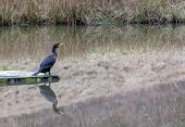 foto of dock a pond  - Cormorant looking out over an empty pond - JPG