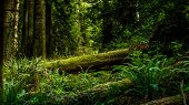 picture of redwood forest  - A large redwood tree has fallen in the forest - JPG