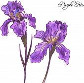 picture of purple iris  - hand drawn watercolor vector illustration with purple iris flowers - JPG