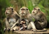stock photo of zoo animals  - Family of monkeys - JPG
