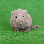 stock photo of mink  - small gray animal mink on green background - JPG