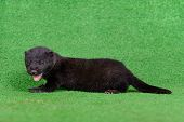 image of mink  - small black mink animal on green background - JPG