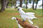 picture of cockatoos  - White Parrot  - JPG