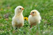 pic of grass bird  - Photo of two young chickens in a grass - JPG