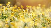 stock photo of buttercup  - The yellow flowers of a buttercup on a meadow lit with the sun - JPG