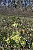 pic of primrose  - Primrose - Primula vulgaris Growing in woodland clearing - JPG