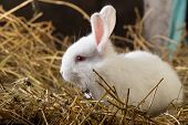 picture of rabbit hutch  - Little rabbit on Dry Grass (hay). Farm. ** Note: Visible grain at 100%, best at smaller sizes - JPG