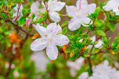 stock photo of azalea  - Pink azaleas in the park close up and soft focus - JPG