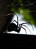 pic of black widow spider  - Black Widow invades another black widow territory - JPG