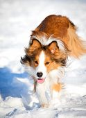 picture of border collie  - The sable border collie runs in winter - JPG