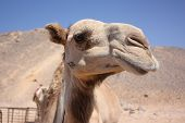 picture of desert animal  - Camel in the desert.Camel head close-up. Desert background
