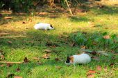 stock photo of guinea pig  - This guinea pig lives at urban park in my city - JPG