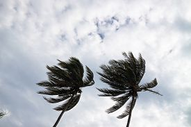 stock photo of hurricane wind  - Coconut palm trees bending in a strong wind - JPG