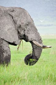 picture of grass area  - Elephant eating grass in Ngorongoro Conservation Area, Tanzania, East Africa.