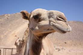 stock photo of camel  - Camel in the desert.Camel head close-up. Desert background ** Note: Shallow depth of field - JPG