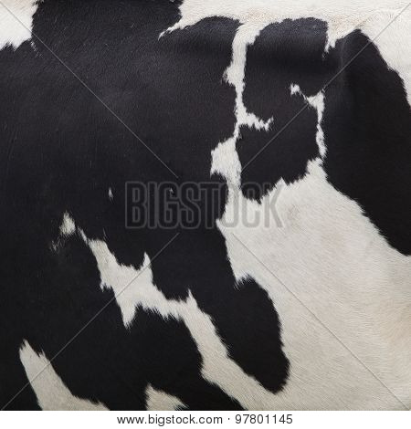 Side Of Cow With Black Spots On White Hide