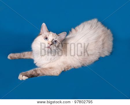 Siberian Cat Seal Point Lies On Blue