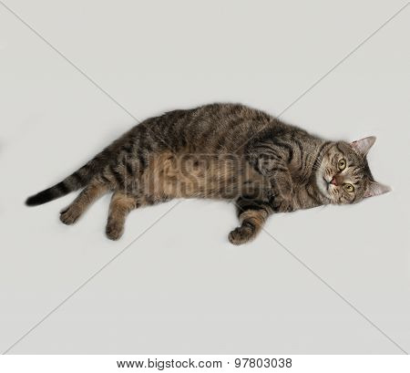 Tabby And White Cat Lying On Gray