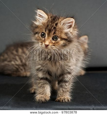 Fluffy Siberian Striped Kitten Standing On Gray