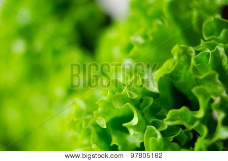 Fresh green lettuce salad leaves closeup
