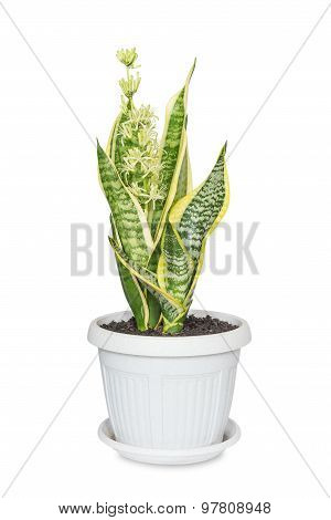 Blooming Sansevieria