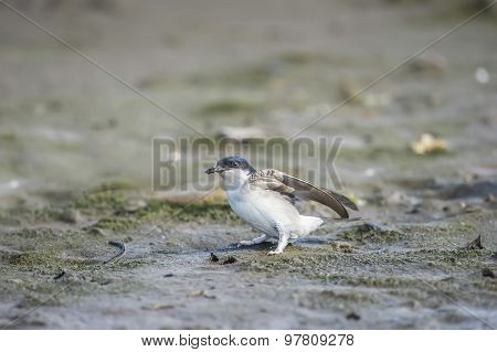 House martin Delichon urbica collecting mud for nest building