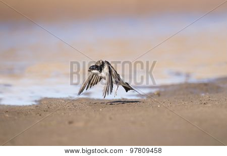 House martin Delichon urbica flying over the sand