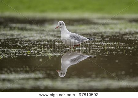 Black headed Gull standing in a puddle looking at its reflection