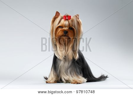 Yorkshire Terrier Dog With Long Groomed Hair Sits On White