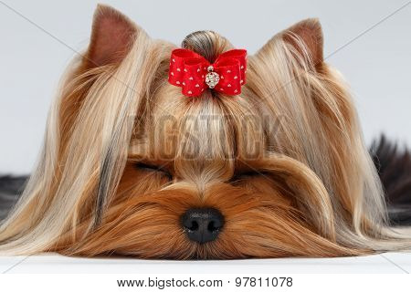 Closeup Yorkshire Terrier Dog With Closed Eyes Lying On White