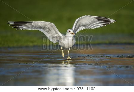Common gull Larus canus flying from a frozen puddle