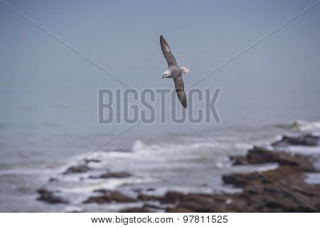 Fulmar Fulmarus glacialis flying over the sea