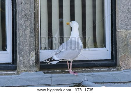Herring gull Larus argentatus looking through a window