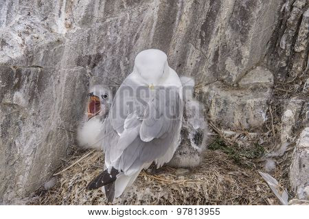 Kittiwake Rissa with its chicks on the nest